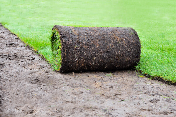 Will Your St. Augustine Grass Fall to Chinch Bugs?