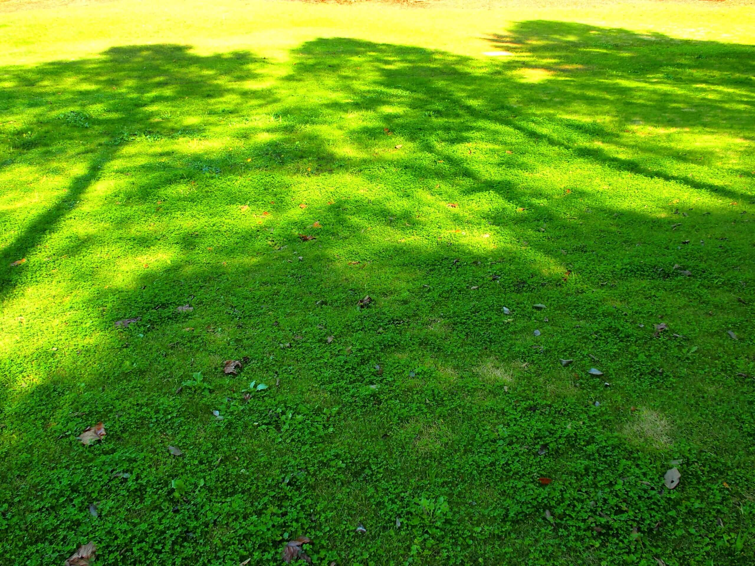 Photo of lawn in shady area covered in grass.