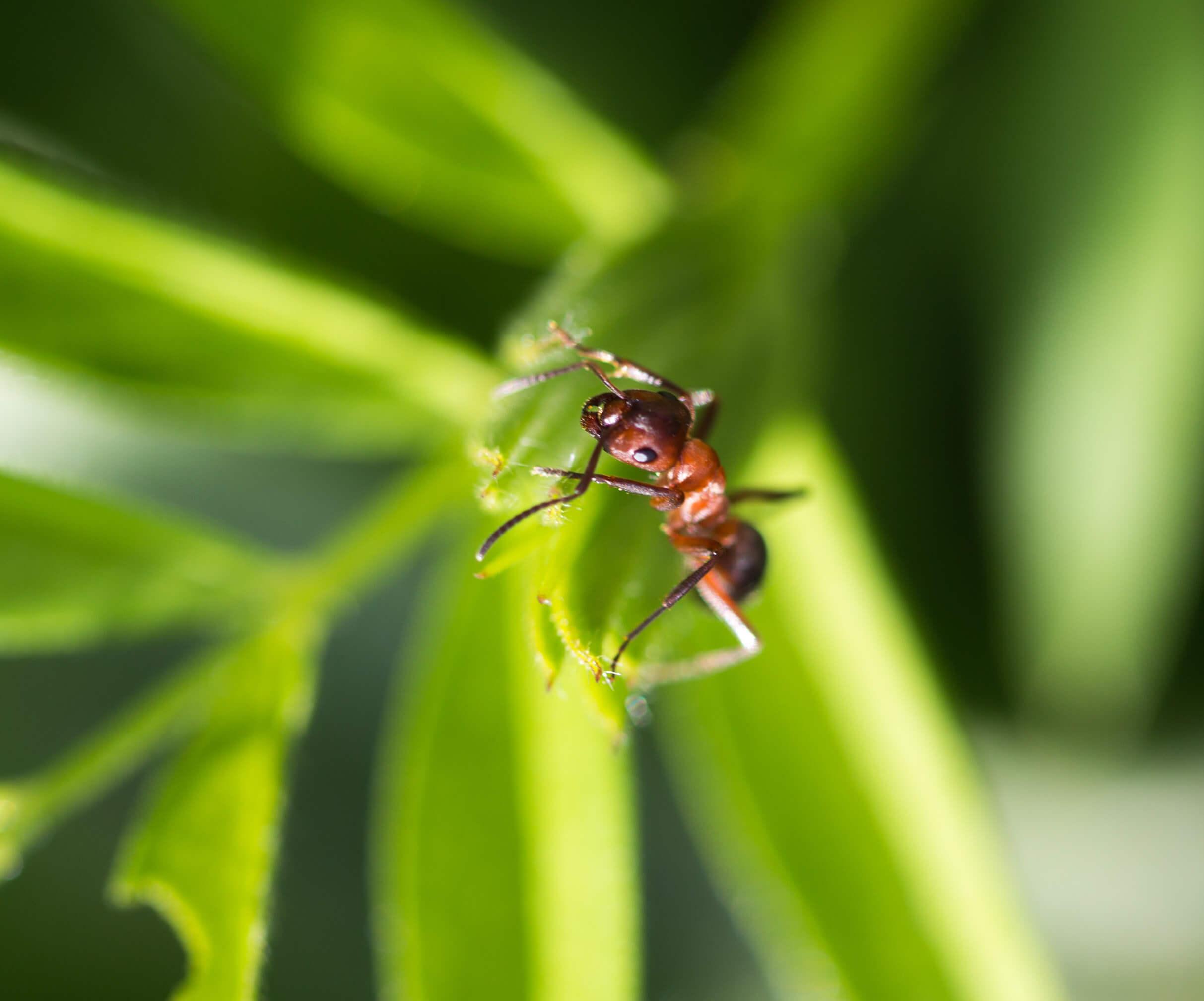 dark yellow ant on grass macro